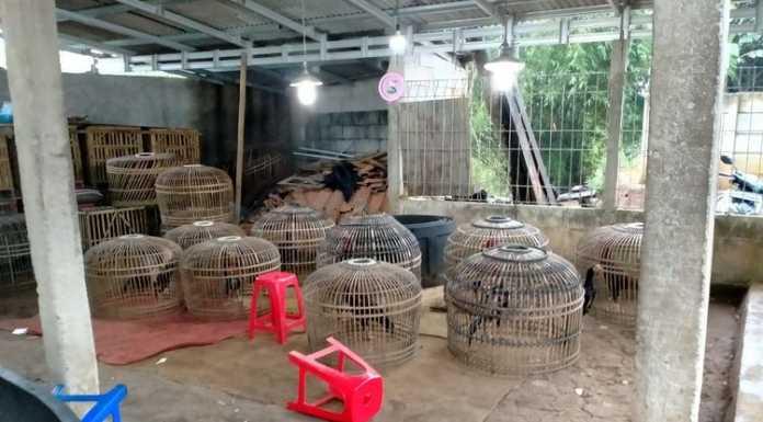 Oknum Polisi Bekingi Arena Adu Ayam di Tengah Pandemi Covid-19